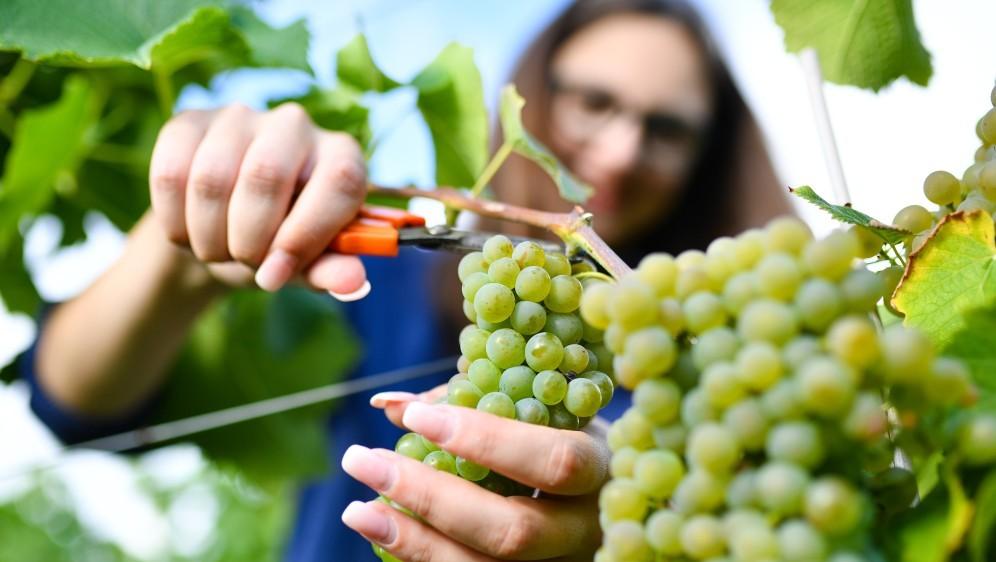 Ocjena ovogodišnje berbe grožđa zadovoljavajuća