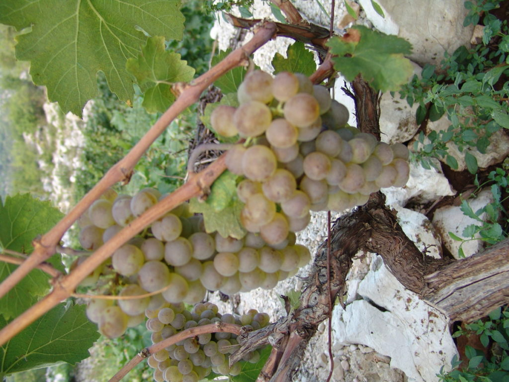 Špica trganja grožđa u Imotskoj krajini