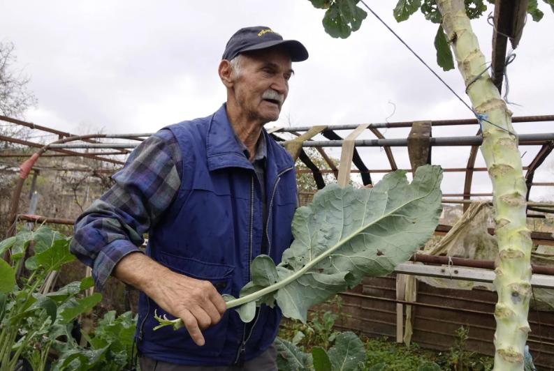 Dinko Iz Zmijavaca u svom vrtu uzgojio rekorderku: 'Ima neke čudne gene. Evo je narasla čak 3 metra'; Priča o divovskoj biljci stigla je i do mladog kuhara, želi od nje napraviti jedinstvenu delikatesu