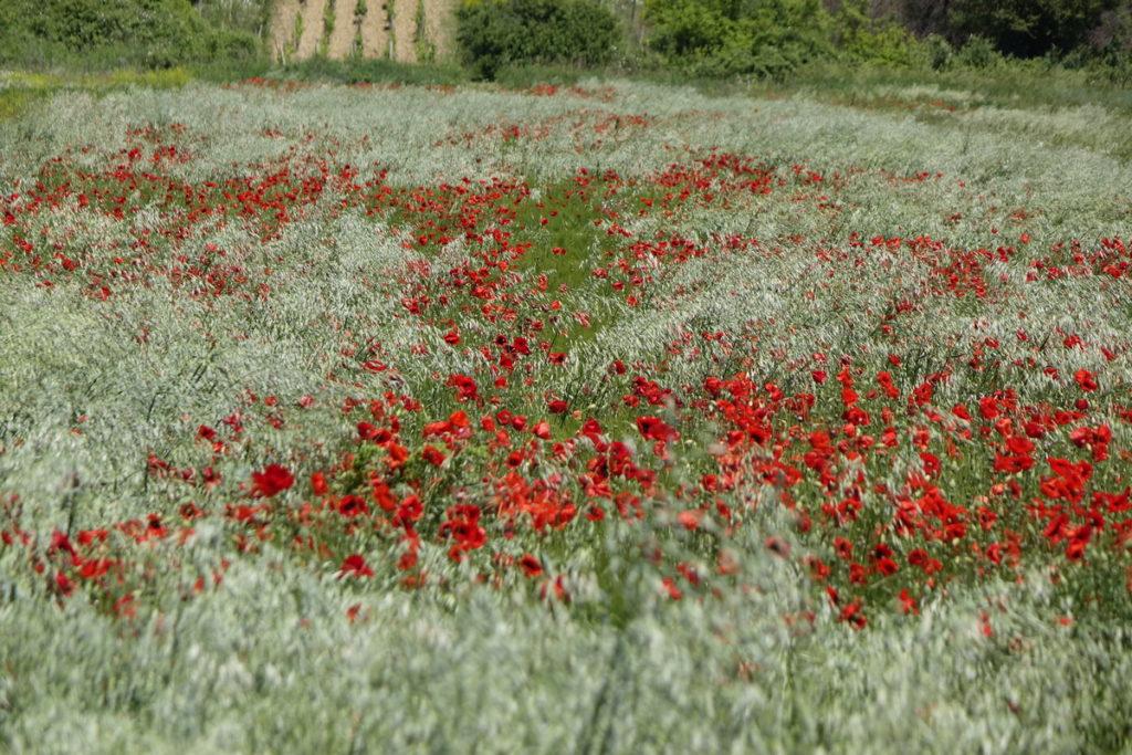 Imotsko polje u svibnju