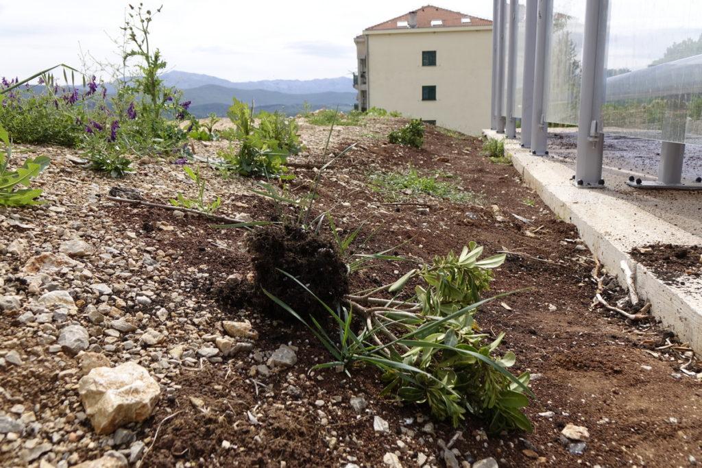 Vandalizam u Imotskom: Opet počupane sadnice