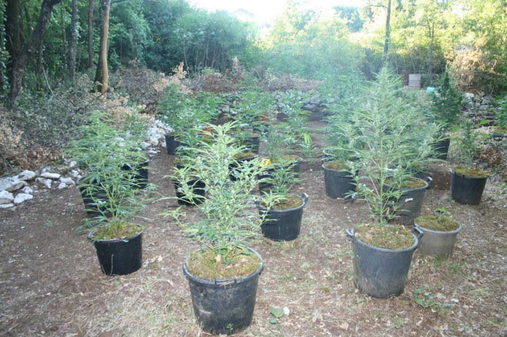 Pronađeno i oduzeto sto stabljika marihuane na imotskom području