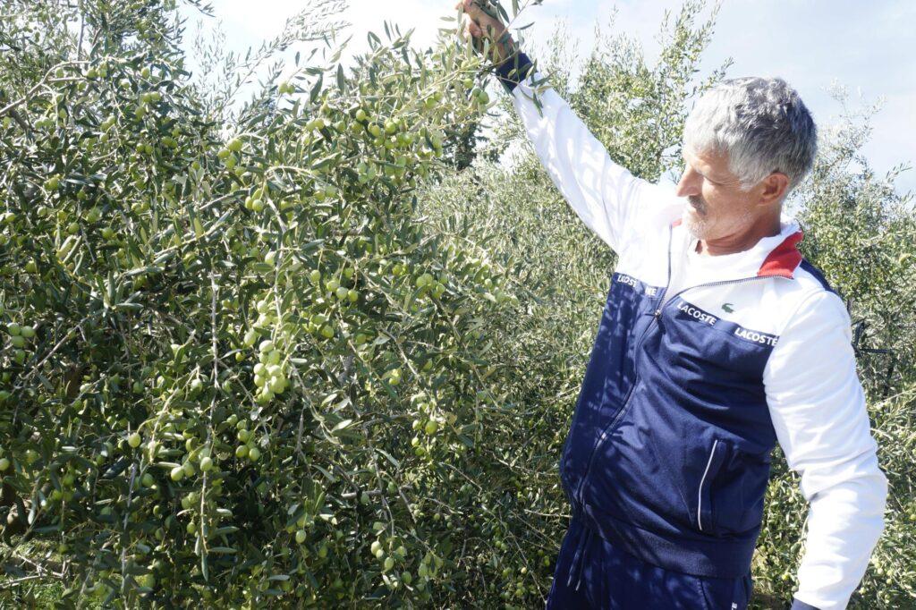 Sliškovićeve masline vrlo su obdarene: 'Ako ovako nastave davati ploda, za 10-ak godina maslina će biti kultura broj jedan u Imotskoj krajini'