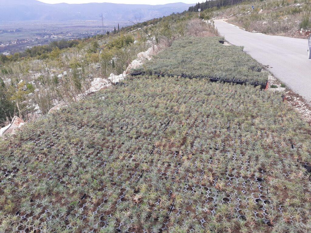 Nove sadnice bora oko Crvenog jezera